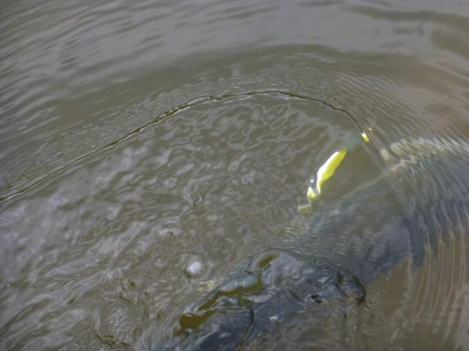Le flash argent du Jamilla se voit de très loin sous l'eau !!!